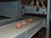 die-eier-kommen-aus-dem-stall